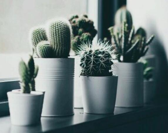 planten-cactus-in-leven-houden